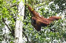 Orangutan Removed From Habitat in Tripa Forest