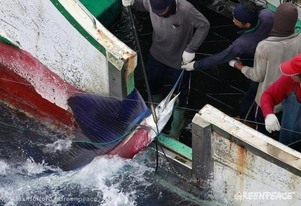 Workers haul a sailfish, a common 'byctach' species, on board the Taiwanese long line fishing vessel 'Sheng Chi Hui No. 7'