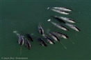 Five ways seismic blasting threatens whales
