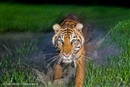 Tiger Day is about more than just saving tigers