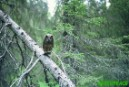 Tengmalm owl in the last old growth forests