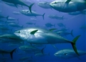 Illegal tuna fishing in Libyan waters... How could it possibly be?