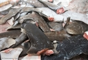 Fishermen confirm shark finning on tuna longliners