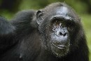 Chimpanzee Habitat Endangered By Palm Oil Project