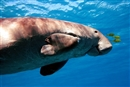 Saving the last Japanese dugongs