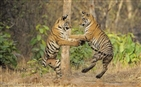 Coal mining poses threat to India's Royal Bengal Tiger