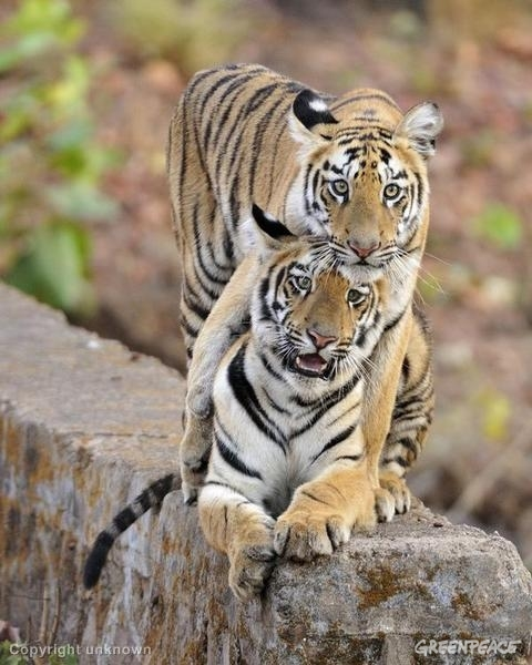 Images of tigers in Tadoba region