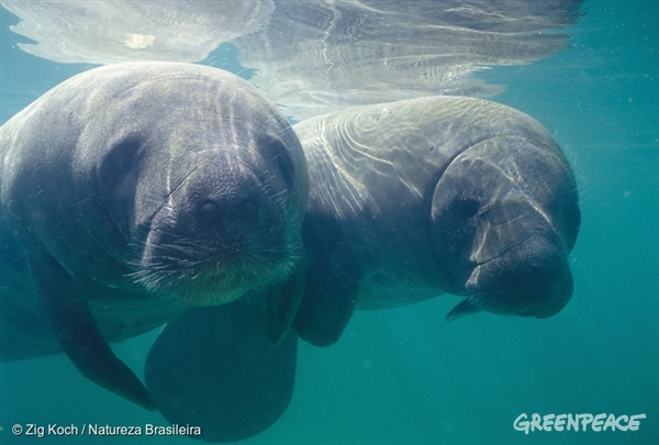 American manatee in the Amazon