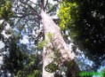 Worm's eye view of a mahogany tree in the