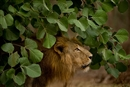 Wildlife Week: The Conservation Story of the Lions of Gir