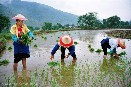 China says 'no' to genetically engineered rice