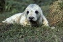 Oceans Action Orkney Seal Cull