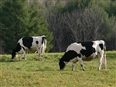 What do over 5 million cows + relaxed environmental regulations equal?