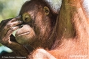 Glimmer of hope for the orangutan as palm oil company bows to peat forest pressure