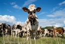 Dairy bosses plot their own demise