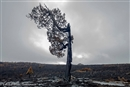 Ancient trees are burning in Tasmania...and some will never grow back