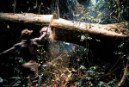 African worker cuts tree in half in Ivory