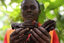 Cocoa, community and the forest
