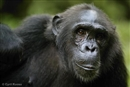 Chimps' survival of little concern to agribusiness
