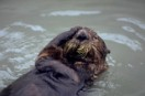 Sea otter at rehabilitation centre in Valdez