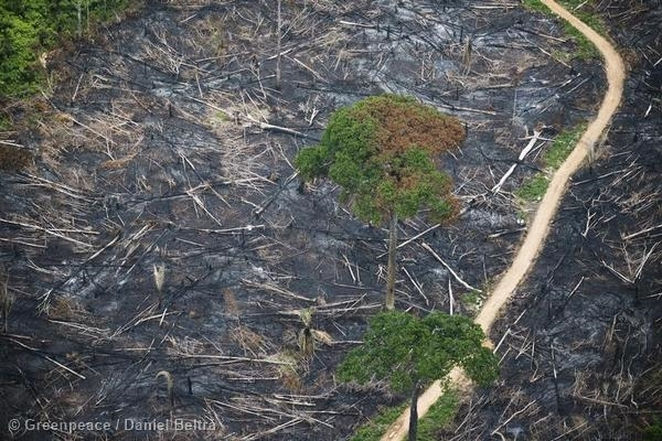 Burned area within the Indigenous Land of Cachoeira Seca. 09/22/2013 © Daniel Beltrá / Greenpeace