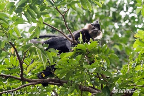 Black crested mangabey monkey  - 16 Sep, 2017