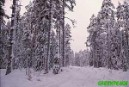Finnish forest slated for logging which will