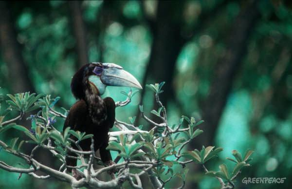 Hornbill type bird sitting in tree
