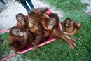 How fixing palm oil could save orangutans from extinction