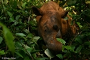 Sumatran rhino found while forest habitat is lost