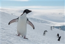 Which is the Antarctic's top penguin?