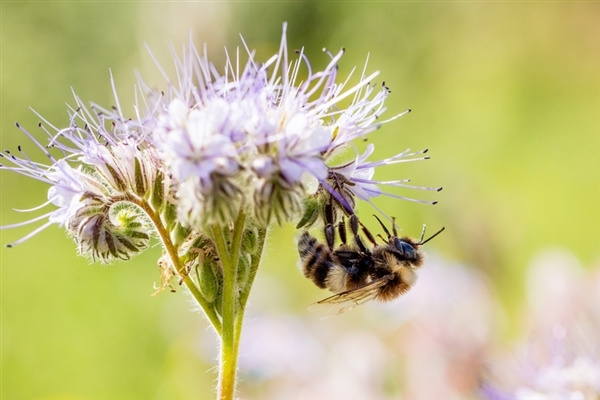 Close up of bumblebee on Phacelia flowers, bee friendly plant and used as green manure. 22 Jul, 2013 © Axel Kirchhof / Greenpeace