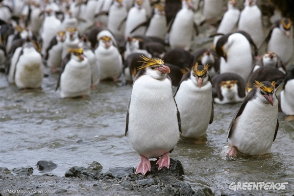 Macaroni penguins, Macquarie Island 1 Feb, 1990