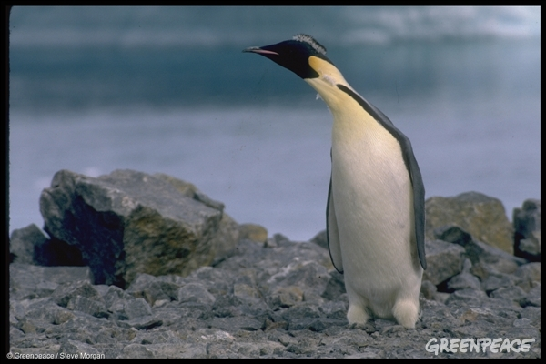 Emperor Penguin in the Antarctic, 1 Jan 1989