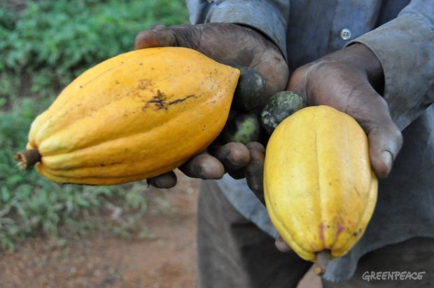 Cocoa Fruit in Cameroon