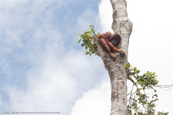 Orangutan in Lone Tree in West Kalimantan