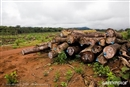 Cameroon timber trade: High risk, low reward