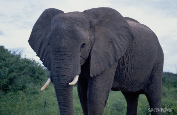 Elephant from the Okavango delta in North Western Botswana.