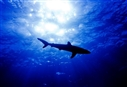 Sharks butchered for questionable cure-all
