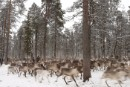 Reindeers in Saami area.