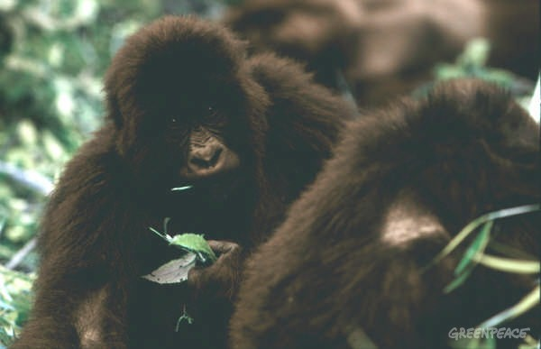 Close-up of black Mountain Gorilla baby holding leaves.