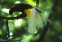 A Lesser Bird of Paradise on a branch