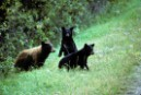 Many large animals like the black bear rely
