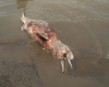 Pink River Dolphins (Botos) are also victims
