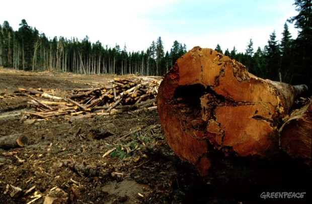 Logging poses a serious threat to Russia's Snow Forests.