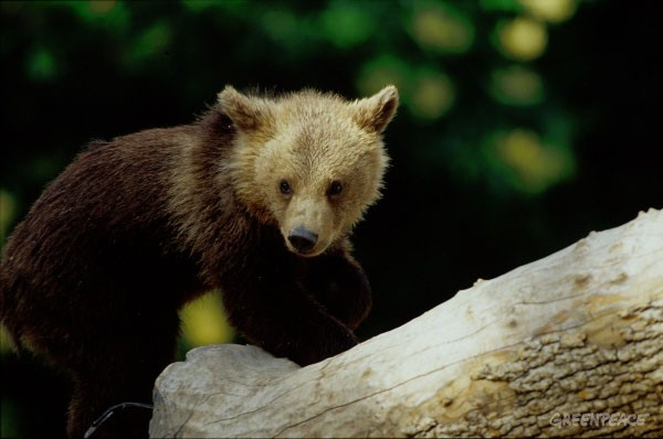 Bear cub near a tree stump, Madrid Zoo, Spain.