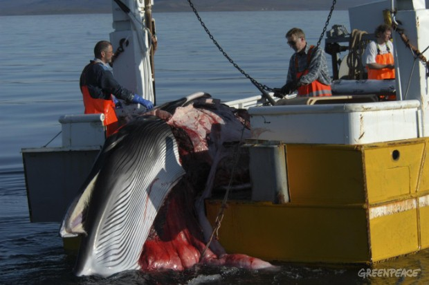 Minke caught by the whaling ship from Isafjordur in NW Iceland. Whalers cut the whale on board and place it in containers before bringing their boat in to the harbour.