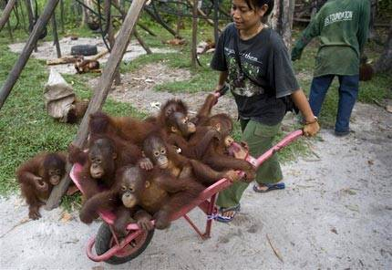 Orang-utans, like these in Kalimantan, are threatened by expanding oil palm plantations © Greenpeace/Behring-Chisholm