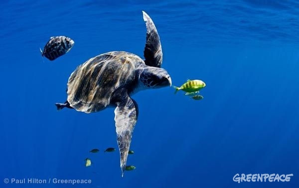 An Olive Ridley turtle (Lepidochelys olivacea) swims in the open blue ocean of the Pacific. 10/16/2011 © Paul Hilton / Greenpeace