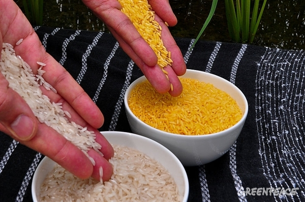 Golden Rice grain compared to white rice grain in screenhouse of Golden Rice plants (International Rice Research Institute (IRRI) 2011)